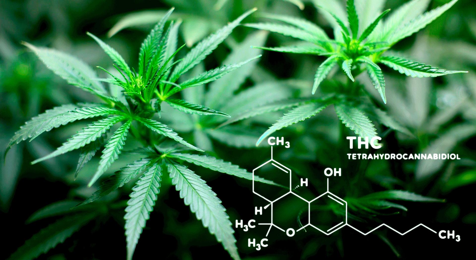 Восстанавливается ли мозг марихуана 7 грамма марихуаны